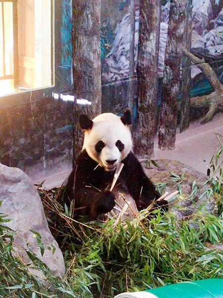 giant panda Toronto Zoo